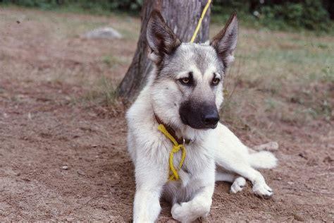 wolf german shepherd german shepherd wolf mix things matt likes beautiful wolves and lucca