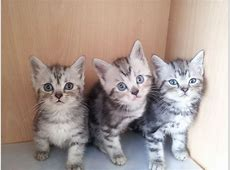 KITTENS FOR SALE | London, North West London | Pets4Homes Kittens For Sale