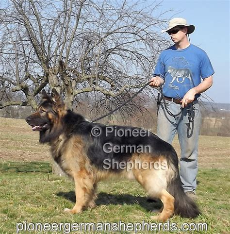 german shepherd size shepherd breeders are you king shepherd breeders are your dogs king shepherds