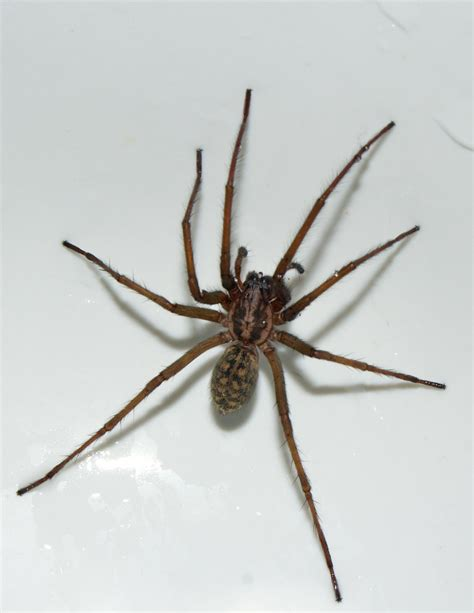 House Spider by House Spiders At Spiderzrule The Best Site In The