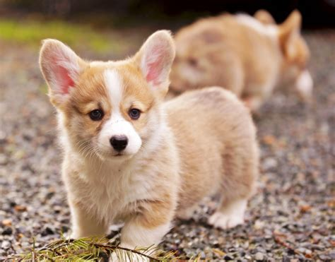 best food for corgi puppy pembroke corgi breed information personality temperament