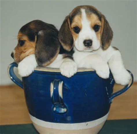 teacup beagle puppies for sale image gallery teacup beagles