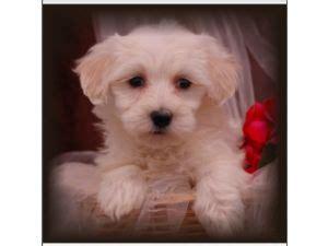 havanese puppies for sale in jacksonville fl havanese puppies for sale