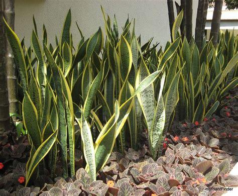 piante da terrazzo resistenti piante resistenti al sole piante da terrazzo piante