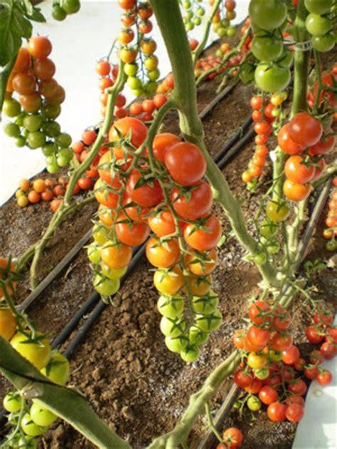 Bibit Tomat Green Emerald 1 sayur buah sehat