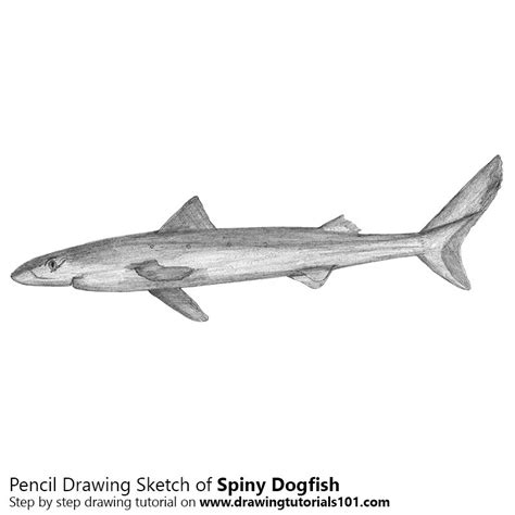 Dogfish Drawing