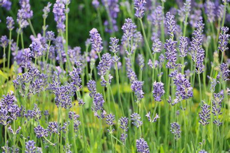 Lavendel Wann Schneiden 5405 by Lavendel Schneiden Mit 3 Schnitten Durch Das Jahr