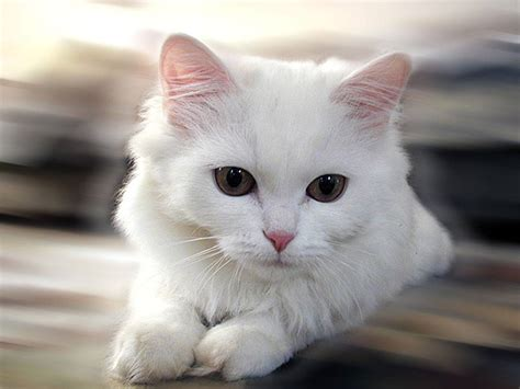 white cat cats picture