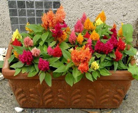 fiori da vaso invernali fiori da vaso piante da terrazzo fiori da vaso