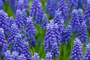 blue grape hyacinths free stock photo public domain pictures