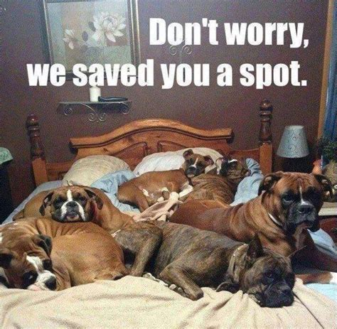 Dog In Bed Meme - friday funny bed full of boxers doggies com dog blog