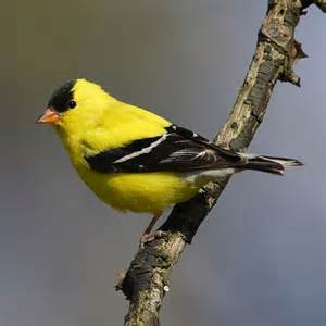 Backyard Yellow Birds Wedding Symbolism The Finch Brings Happiness Health