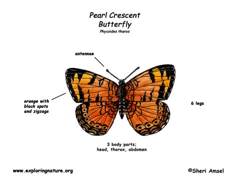 diagram of a butterfly butterfly diagram