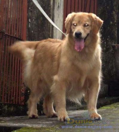 Boneka Anjing Golden Quality dunia anjing jual anjing golden retriever golden retriever quality