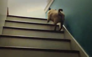 pug going up stairs pug bouncing up the stairs and bloody loving it