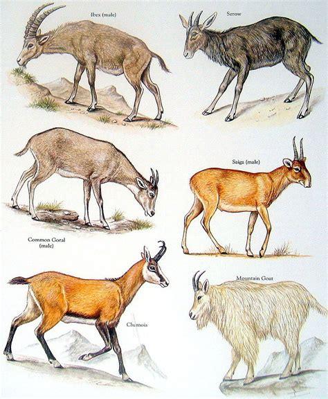 bovids goat ibex common goral chamois mountain goat