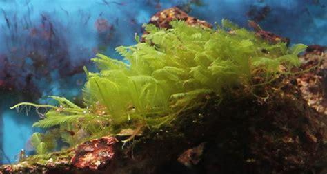 Green Marine green marine algae www pixshark images galleries