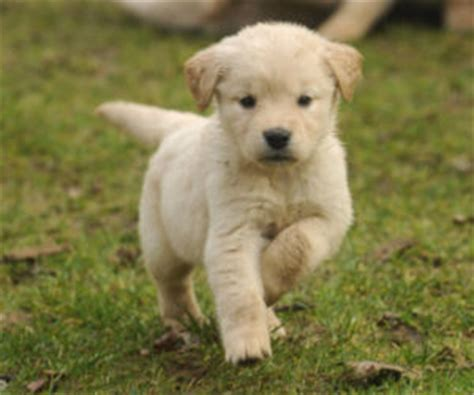 golden retriever breeders ta valper golden retriever til salgs i norge valp oppdretter og kennel golden retriever