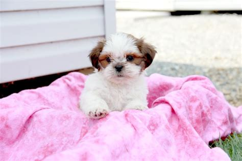 shih tzu puppies for sale in columbia sc adorable shih tzu puppies craigspets