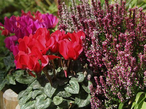 piante in vaso invernali balconi fioriti garden bedetti como