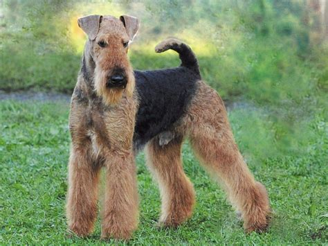 california puppies for sale airedale terrier breeders california breeds picture