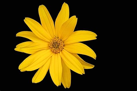 black wallpaper with yellow flowers yellow flower black background 33 wallpapers free