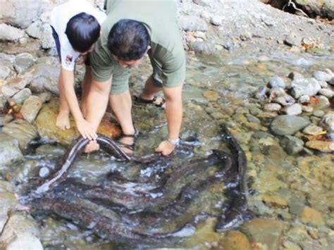 Jual Benih Ikan Sidat Cilacap benih ikan ular sidat bisa laku rp 60 juta kg di jepang