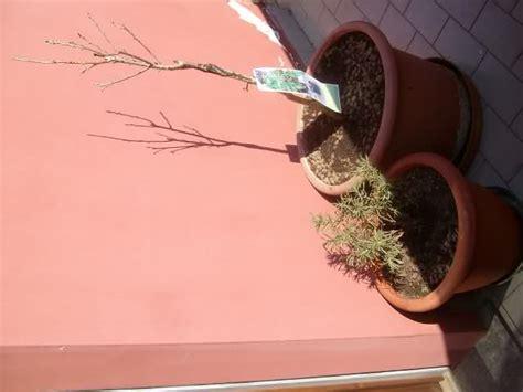 ciliegio nano in vaso ciliegio nano da vaso forum di giardinaggio it