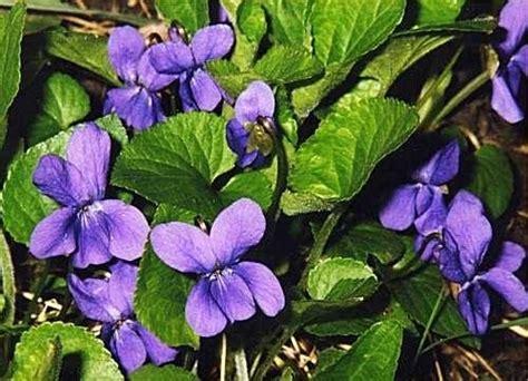 violetta fiori violetta fiore piante annuali conosci il fiore della