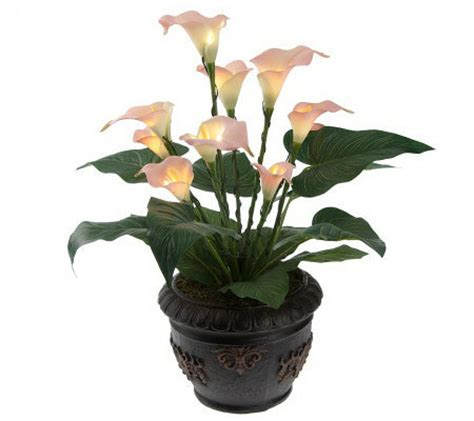 lilies care of in pots images