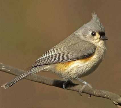 tufted titmouse identification all about birds cornell