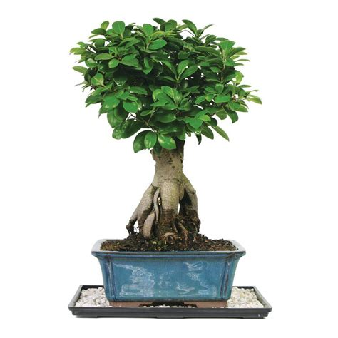 brussels bonsai dwarf hawaiian umbrella tree indoor dt
