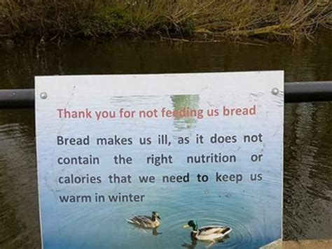 here s why you should not feed ducks bread