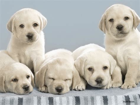 looking dogs nintendogs images these dogs look alot like my yellow lab on my hd wallpaper and