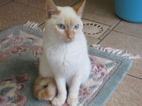 pistache  mois chaton croise siamois  adopter dans la