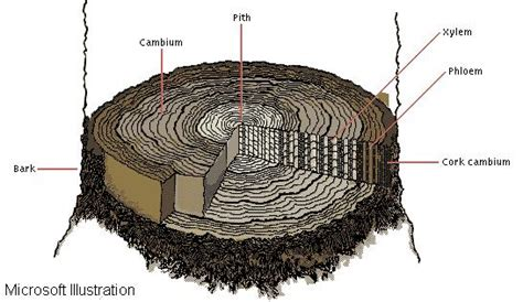 Tree Trunk Cross Section by Tree Trunks