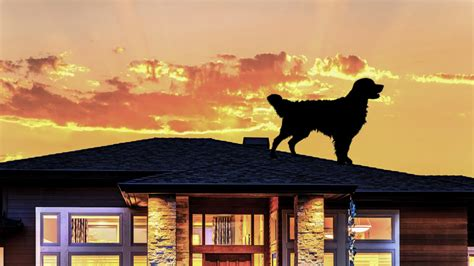 Dog On Roof by What A Dog On A Roof Can Teach Us All About Roof Safety