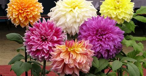 jual umbi bunga dahlia dunia tumbuhan