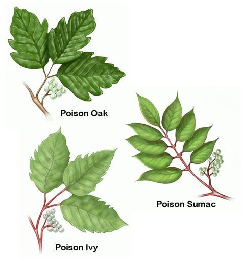 poison ivy poison oak and poison sumac print