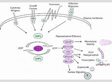 Rac1 signaling model. Rac1 acts as a signal transducer by ... G Protein Coupled Receptors Diagram