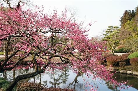 plum blossom tree new year plum blossoms in japan best places for 2018 jrailpass