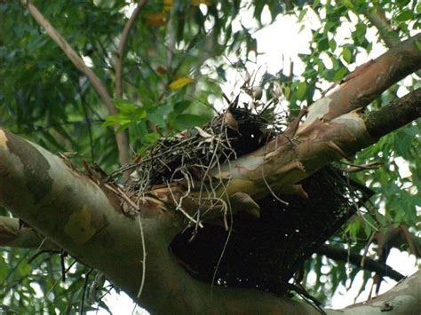 huge bunches of nests built by the sociable weaver in the