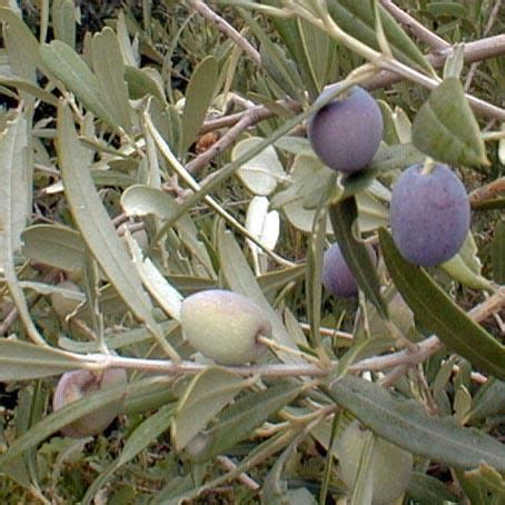 central fruit trees trees olives and plants on