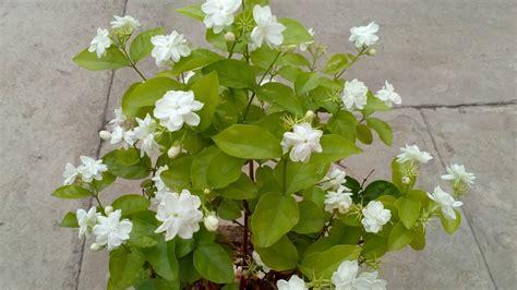 natural air freshener   grow jasmine indoors