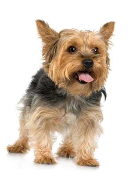 silky terrier hair cut how to get a silky terrier s hair to grow pets