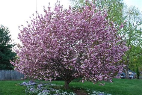 cherry tree care top 28 cherry tree care flowering cherry tree care blablapartner ornamental flowering