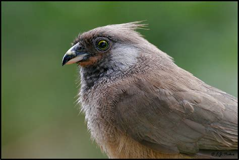 mousebird images