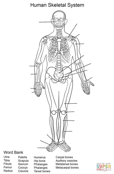 anatomy coloring pages nervous system skeletal whole coloring pages