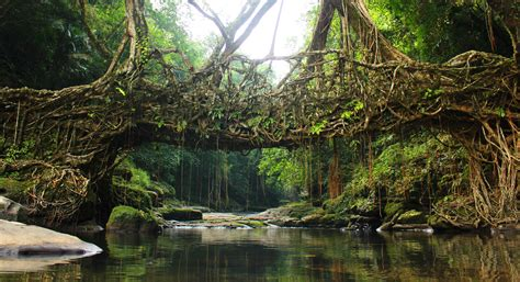living bridges the amazing living bridges of meghalaya drishtikone