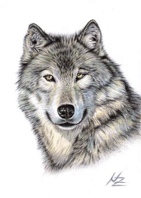 wolves drawings the wolf drawing colored pencil pencil drawings